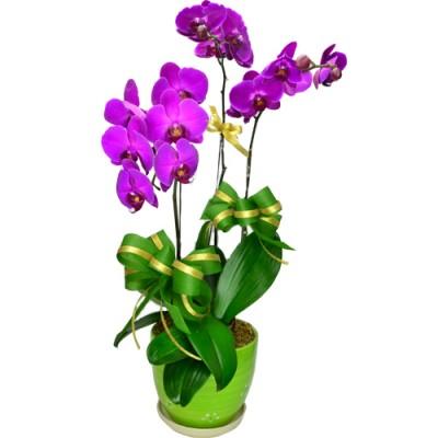 3pcs Taiwan Purple Color Orchids